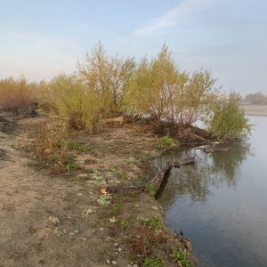 Alongside the Kern River as it runs through Bakersfield, new trees have sprouted in the last few years.