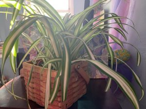 Henrietta the Spider plant in a basket on the desk where she is in clear view of Julie as the latter writes from her recliner.