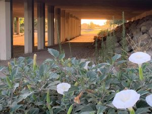 Loco Weed (moonblossoms) blooming at Sunrise beside the Calloway bridge in Southwest Bakersfield