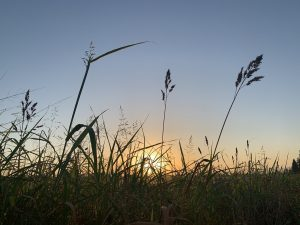 Tall grasess at sunrise - the sun is barely seen on the horizon and it seems as if the tall grasses want to listen and see the sunrise to learn its lessons.