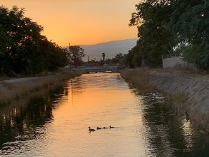 A mallard duck family swims in the canal off Brundage Lane in Bakersfield at Sunrise